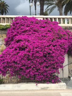 Bougainvillea in the South of France
