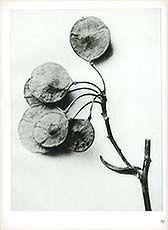Antique print: Ptelea trifoliata (6x) - Hoptree from Photogravures by Karl Blossfeldt