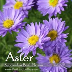 Flower aster fun little facts about september s birthstone and flower