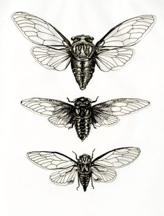 mirandamontes:  Cicada studies Ink Miranda Montes