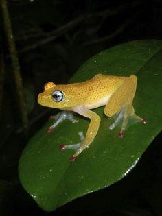 d3a2193874914 Frog (Boophis erythrodactylu) Madagascar Madagascar