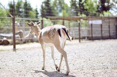 Cute deer walking away at the mini zoo.