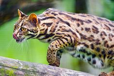 The ancestry of the Bengal cat derives from a spotted domestic cat and a small wild spotted feline called the Asian leopard cat (ALC) or Felis bengalensis. Small Wild Cats, Small Cat, Big Cats, Cats And Kittens, Cats Bus, Leopard Kitten, Asian Leopard Cat, Cheetah, Lynx