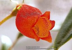 Photo of Hardy Gloxinia (Seemannia sylvatica 'Bolivian Sunset') uploaded by mjsponies // Pretty red-orange colored bloom on this rather unusual plant. Just lovely!