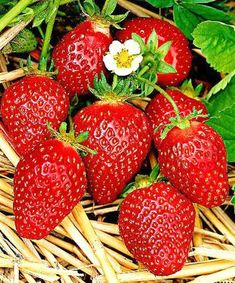 Strawberries 'Korona' (Fragaria x ananassa 'Korona'). An early variety with two special features: large fruit and excellent taste. The fruits are as large as eggs. The fruit yield is high. Strawberry Plants, Strawberry Fields, Fruit And Veg, Fruits And Vegetables, Fruit Photography, Beautiful Fruits, Delicious Fruit, Fruit Art, Kraut