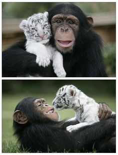 Chimp and white tiger become best friends.Aw the smile on the chimp! Cute Creatures, Beautiful Creatures, Animals Beautiful, Majestic Animals, Beautiful Babies, Cute Baby Animals, Animals And Pets, Funny Animals, Wild Animals