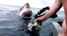 Toothy grin: You're gonna need a bigger camera to capture this white shark just off Austra...