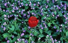 Tulips can grow up through groundcover plants