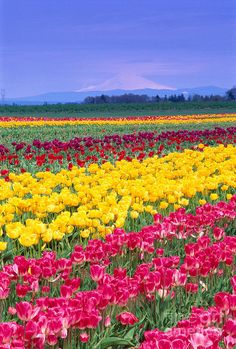 View Of Oregon Photograph - View Of My. Angel and Tulips Amazing Flowers, Beautiful Roses, Beautiful Gardens, Beautiful Places, Beautiful Pictures, Oregon, Famous Gardens, Garden Bulbs, Tulip Fields