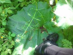 Arctium lappa, giant leaf; Galium aparine and Chelidonium majus