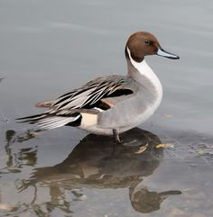 Northern Pintail - Anas acuta (by rosebudl1959)