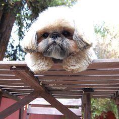 Don't jump lil Shih Tzu...Don't jump!