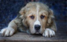 Download wallpapers Central Asian Shepherd Dog, 4k, Alabai, dogs, pets, muzzle, big dog, Central Asian Shepherd
