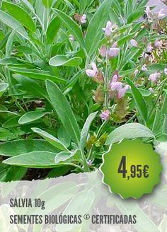 Sálvia Biológica - A Sálvia é uma planta perene usada como condimento, erva medicinal e como planta ornamental.