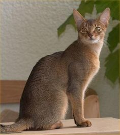 Abyssinian cat.  One of the world's oldest known cat breeds.  Originated from Egypt.  Curious, good-tempered, and affectionate.