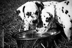 Florida Dalmatian Pups