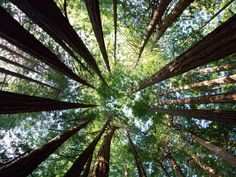 Redwood Grove, Sequoia National Park, CA