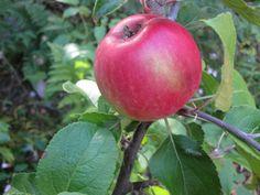 Vårt første eple, stor stas..