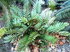 The Cardboard 'Fern' (Zamia furfuracea) is a delightful small cycad that won't take up much space Small Palms, Coastal Gardens, Butterworth, Hardy Plants, Home Landscaping, Coastal Decor, Ferns, New Zealand