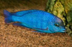 Cyrtocara moorii, Blue Dolphin Cichlid