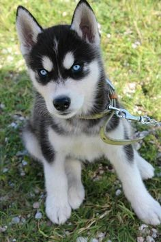 Gorgeous Siberian Husky puppy. Pin from me I pin from u. @salesfortoday also check out www.stores.ebay.com/jenscreationstx