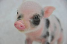 Such a sweet little baby piggy face!