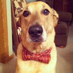 Got this idea from a pin of dog collars you can buy with bow ties on them--he will have one for every holiday...look at his face, he can't wait :)