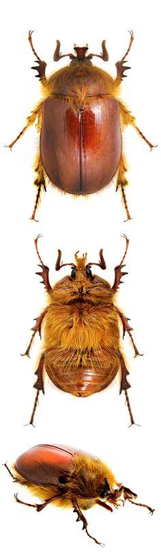 Pleocoma rubiginosa                                                                                                                                                      More