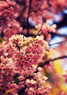愛宕稲荷神社 清秀桜 #sakura #CherryBlossom Cherry Blossoms, Plants, Cherry Blossom, Japanese Cherry Blossoms, Plant, Planets