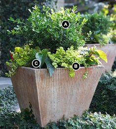 substitute the boxwood with a rosemary and keep the creeping jenny.  put an orange lantana in between