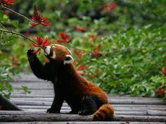 Segundo a IUCN, o crescimento da população faz aumentar as áreas de agricultura e as zonas urbanas. Além disso, há o desflorestamento por madeireiras asiáticas e até mesmo por lenha para fogo (em especial nos Himalaias)  Foto: Getty