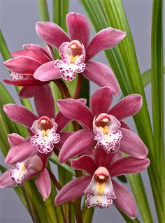 Cymbidium 'Pink Perfection' - Flickr - Photo Sharing!