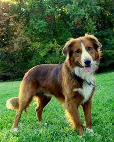 English Shepherd, with high intelligence and unique kindness to other animals and people. #DogBreeds