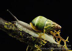 Amphidromus caeruleus
