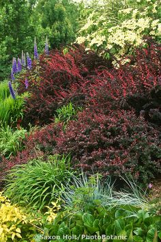 Berberis thunbergii 'Atropurpurea'  (Red Japanese Barberry) purple leaf shrub in mixed border at Bellevue Botanical Garden, Seattle Washington