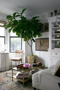Figliola ficus plant in a basket weave planter adds lovely greenery to this living room.