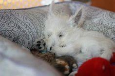 Westie Puppies, Puppies And Kitties, Westies, Doggies, I Love Dogs, Puppy Love, Animals Beautiful, Cute Animals, Jack Russells