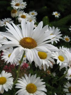 Shasta Daisies by marlysmand on Flickr.