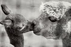 Alpaca mother and baby kiss
