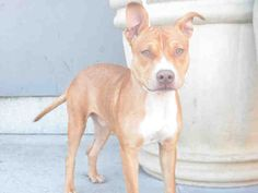 Brooklyn Center ALAMO – A1094548  MALE, TAN / WHITE, AM PIT BULL TER MIX, 1 yr, 6 mos STRAY – STRAY WAIT, NO HOLD Reason STRAY Intake condition UNSPECIFIE Intake Date 10/24/2016, From NY 11213, DueOut Date 10/27/2016,