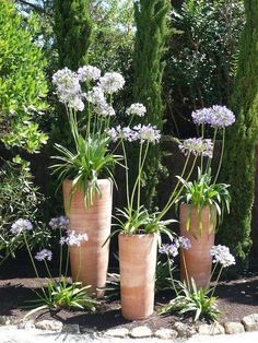 Gardening Autumn - Agapanthes mises en scène - With the arrival of rains and falling temperatures autumn is a perfect opportunity to make new plantations Patio Garden Design, Mediterranean Garden, Container Plants, Garden Containers, Patio Garden, Garden Pots, Plants, Italian Garden, Garden Projects