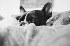 Sleep in kids it'll be a cold one  #dogsofinstaworld  #LOVEABULLY #frenchies1 #frenchieoverload #bullyinstafeature #jj_indetail #jj_welovepets #sunnypicchallenge #nothingisordinary #bestwoof #houndsbazaar #bullylife #petbox #a_dogsworld  #animalbuzz #dogsofinstagram #lacyandpaws #rainbow_wall  #ruffpost #french_bulldogs #excellent_dogs #meowvswoof #frenchielove_feature #mydogiscutest #cutepetclub #INSTAFRENCHIE #frenchiegram #topdogphoto #jj_forum_1454 by tomasa_the_french_bulldog