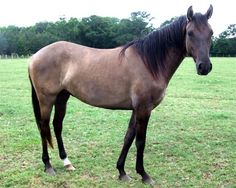 Carolina Marsh Tacky is an old horse breed or type from South Carolina. Its ancestors were the imported Spanish horses and they were used for all duties horses could be used. Later the larger horses became more popular and in 50's the Spanish-related horses were thought to be extinct. Anyway, some Marsh Tackies were found and have been preserved since then. Marsh Tackies are smallish but balanced and strong horses. The most common colors are bay, black, grullo, dun and roans.
