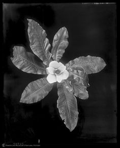 Magnolia flower, wax model, from above (Magnolia macrophylla), 1918