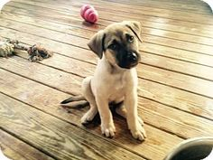 PLAINFIELD, IN - Mastiff/Shepherd (Unknown Type) Mix. Meet Daisy, a puppy for adoption. http://www.adoptapet.com/pet/13728658-plainfield-indiana-mastiff-mix