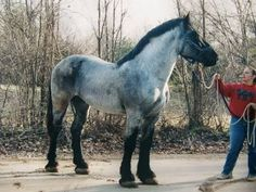 Blue Roan Belgian! Wow!