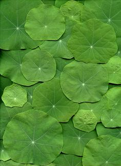Can't wait for my nasturtiums to get big and bushy, they remind me of lily pads!