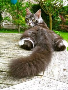 """""""It`s fluffy"""" - My Lizzie flattens herself out like this. She's the only cat I've ever had who did this."""