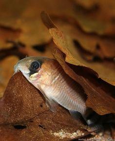 Corydoras oiapoquensis