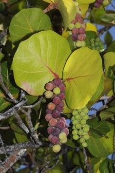 Ripe Sea Grapes.